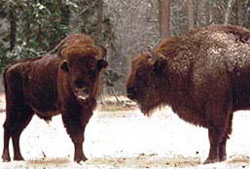 Bison in the National Park